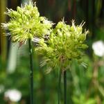 Allium obliquum - Allium obliquum - Syberisch knoflook