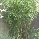 Fargesia robusta 'Pingwu' - Japanse bamboe - Fargesia robusta 'Pingwu'