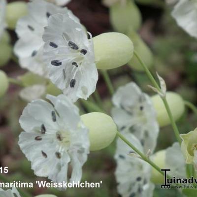 Silene uniflora 'Weisskehlchen' - Lijmkruid/Hemelroosje - Silene uniflora 'Weisskehlchen'