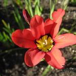 Sparaxis tricolor -