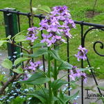 Hesperis matronalis 'Purpurea' - Damastbloem