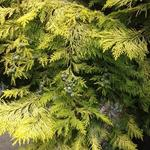 Chamaecyparis lawsoniana - Chamaecyparis lawsoniana - Californische cipres
