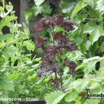 Perilla frutescens - Perilla frutescens - Shiso, Japanse basilicum, Biefstukplant