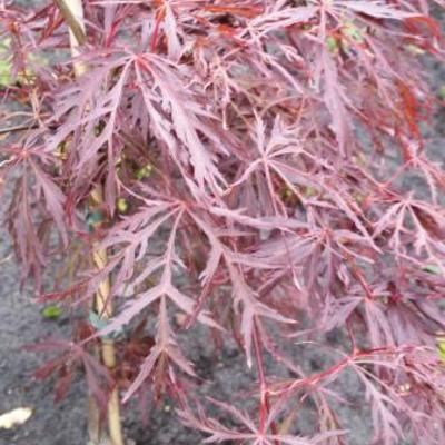 Acer palmatum 'Crimson Queen' -