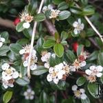 Cotoneaster  x suecicus 'Coral Beauty' - Dwergmispel