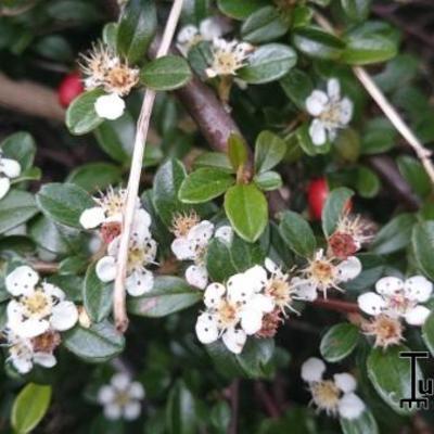 Cotoneaster  x suecicus 'Coral Beauty' -