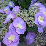Hydrangea macrophylla FLAIR & FLAVOUR 'Blueberry Cheesecake' - Hortensia