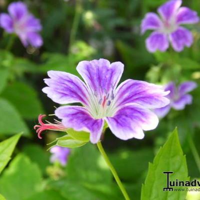 Geranium nodosum 'Whiteleaf' -