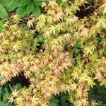 Acer palmatum 'Katsura' - Acer palmatum 'Katsura' - Japanse esdoorn
