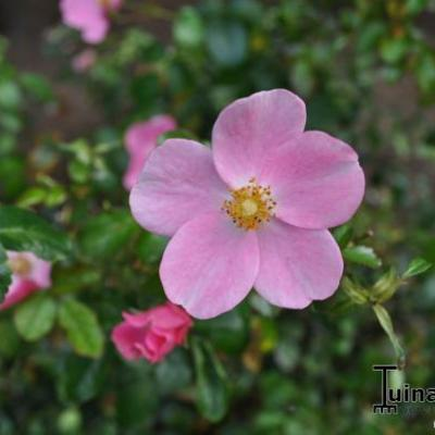 Rosa 'Fortuna' - Roos