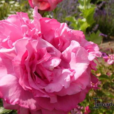 Rosa 'Yves Piaget' -