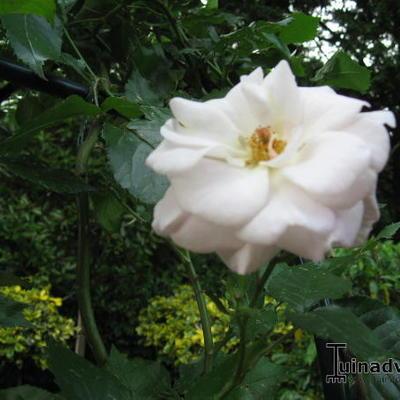 Rosa 'Pas de Deux' -