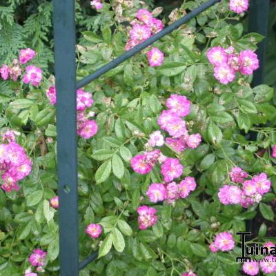 Rosa 'Perennial Blue' -