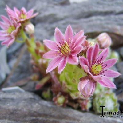 Sempervivum arachnoideum subsp. arachnoideum -