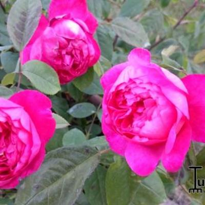 Rosa 'Benjamin Britten' -