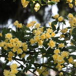 Rosa banksiae lutea - Rosa banksiae lutea - Roos, klimroos