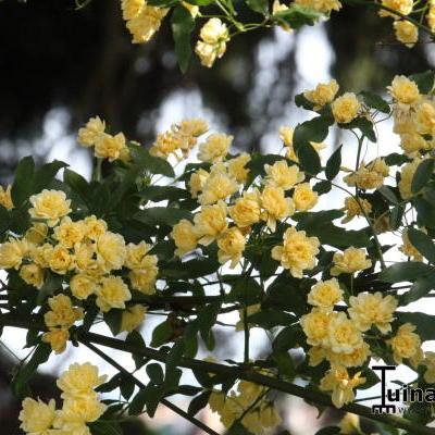 Rosa banksiae lutea -