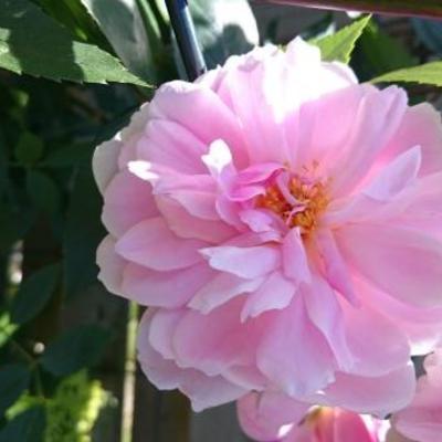 Rosa 'Mortimer Sackler'  -