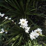 Libertia grandiflora - Libertia grandiflora - Nieuw-Zeelandse iris