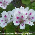 Pelargonium x domesticum 'Elegance Royalty White' -