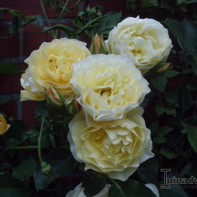 Rosa 'Friesia Climber' - Roos, klimroos