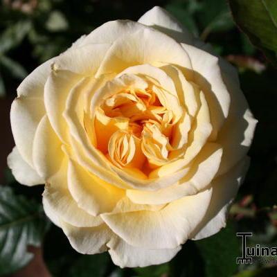 Rosa 'Breathtaking'  -