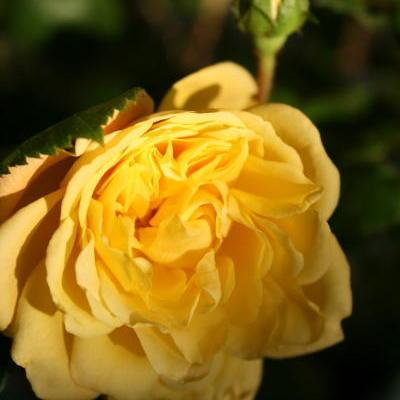 Rosa 'Yellow MEILOVE' -