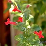 Galvezia speciosa - Galvezia speciosa - Eilandse leeuwebek