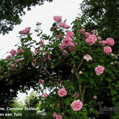 Rosa 'Mme Caroline Testout' -