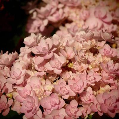 Hydrangea macrophylla 'Jomari'  -