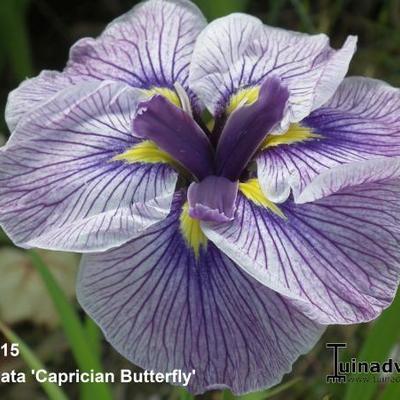 Iris ensata 'Caprician Butterfly' -