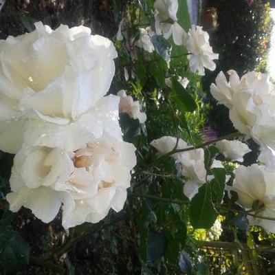 Rosa 'Margaret Merril' -