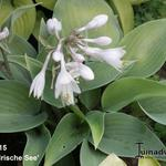 Hosta 'Irische See' -