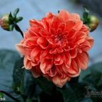 Dahlia 'Orange Nugget' -