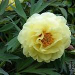 Paeonia suffruticosa 'High Noon' - Boompioen