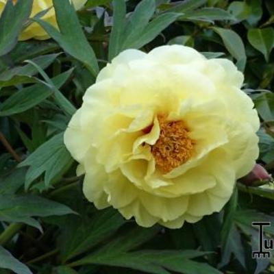 Paeonia suffruticosa 'High Noon' -