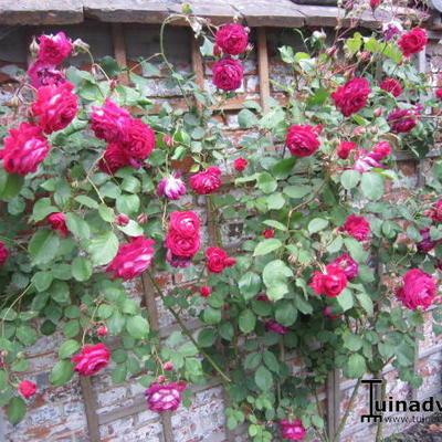 Rosa 'Reine Marie Henriette' -