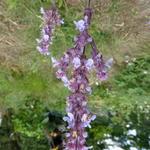 Nepeta grandiflora 'Veluws Blauwtje' - Kattekruid - Nepeta grandiflora 'Veluws Blauwtje'