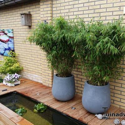 bamboe fargesia murieliae 39 jumbo 39 planten online kopen. Black Bedroom Furniture Sets. Home Design Ideas