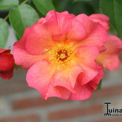 Rosa 'Pretty Sunrise' -