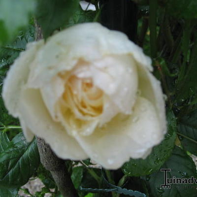 Rosa 'Uetersener Klosterrose' -
