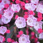 Kalmia latifolia 'Ostbo Red' - Lepelboom, Laurierroos