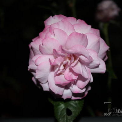 Rosa 'Blue River' - Roos