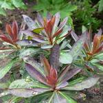 Euphorbia 'Blackbird' - Euphorbia 'Blackbird' - Cipreswolfsmelk