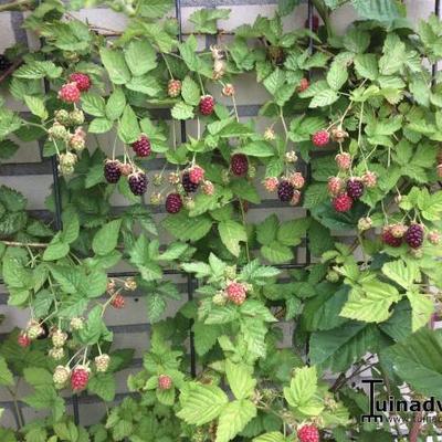 Rubus fruticosus 'Loch Ness' -