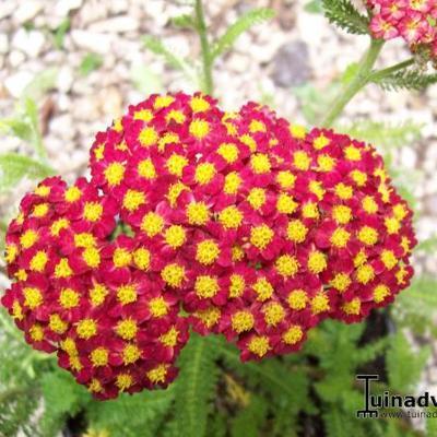 Achillea millefolium 'DESERT EVE Red' -