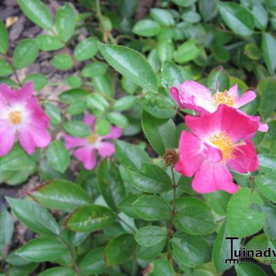 Rosa 'Fil de Saisons' -