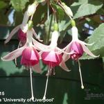 Fuchsia 'University of Liverpool' - Bellenplant