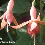 Fuchsia 'Orange Crush' - Bellenplant