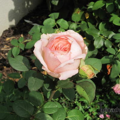 Rosa 'Lovely Kiss' - Roos
